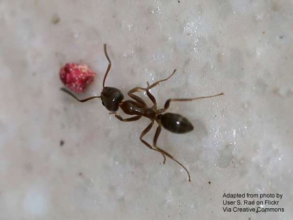 Close-up of Linepithema humile, commonly known as the Argentine ant, approaching what appears to be a small bit of red candy