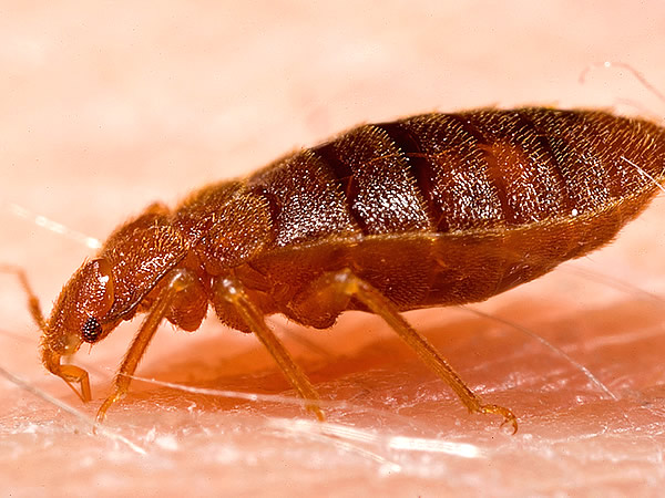 Extreme close-up of a bed bug on human skin