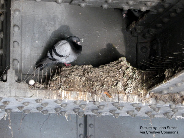 Pigeon nest built on top of pigeon spikes on a steel girder.
