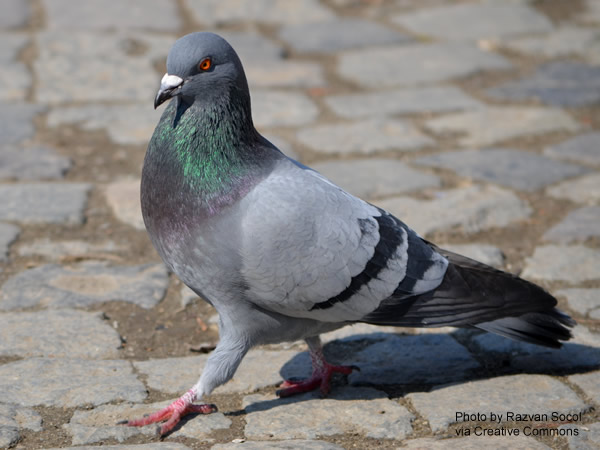 Close-up of a pigeon walking on a cobblestone pavement.