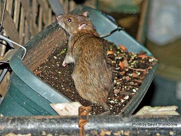 Rat Control Brentwood Amp Contra Costa County California
